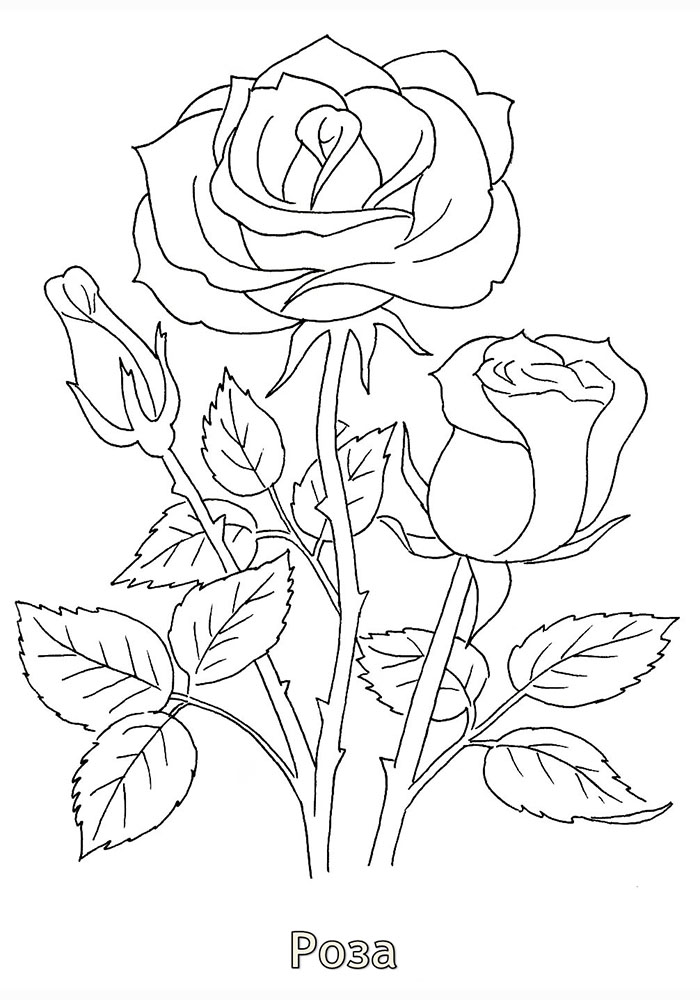Раскраска Роза Илюжн | Раскраски Цветы