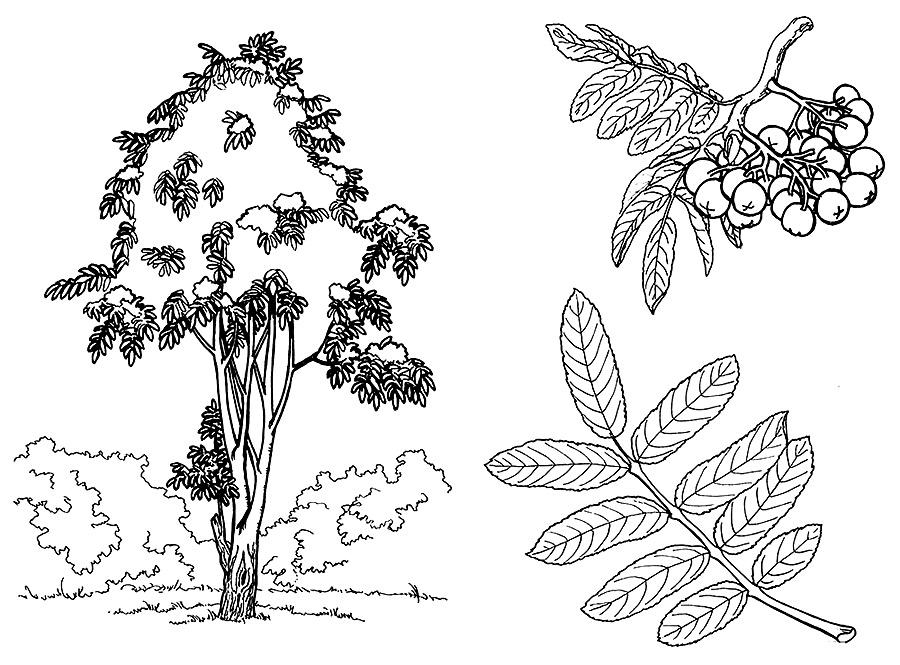 Картинки кустарников для детей черно белые